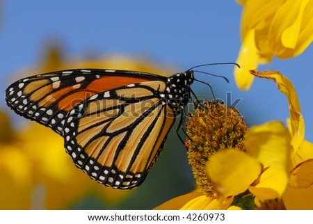 Monarch butterfly warming up and eating on afternoon sun