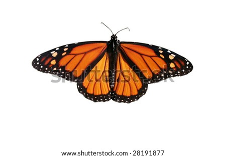 monarch butterfly with clipping path
