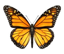 Monarch Butterfly with open wings in a top view as a flying migratory insect butterflies that represents summer and the beauty of nature.