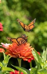 Monarch Butterfly with Orange Flower