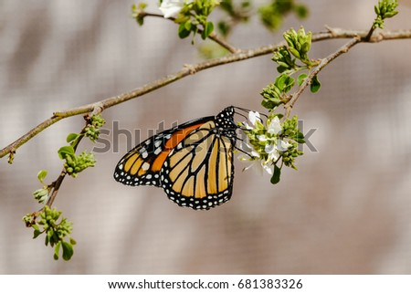 Monarch butterfly with wings folded, feeding on a small white blossom. In Phoenix, Arizona.