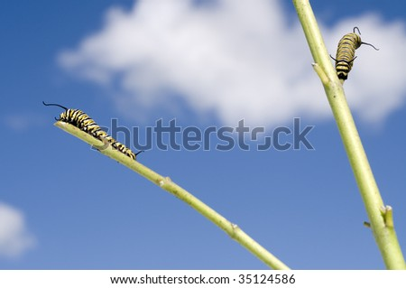 Monarch Caterpillar eating plant bare