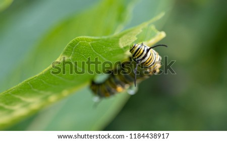 monarch caterpillar eats milkweed plant