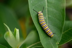 Monarch caterpillar on milkweed plant