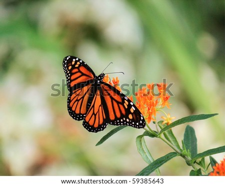 Monarch (Danaus Plexippus)  Butterfly  Feeding on Silky Scarlet Blood Flower (Asclepias Curassavica)