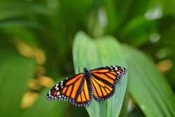Monarch, Danaus plexippus, butterfly in nature habitat. Nice insect from Mexico. Butterfly in the green forest.
