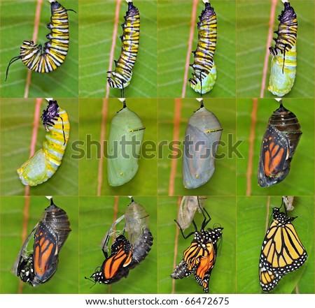 Monarch Metamorphosis (Danaus plexippus). Complete Twelve-Step Monarch Metamorphosis Montage - stock photo