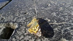 Monarch moth on a granite stone under sunlight in cold autumn day