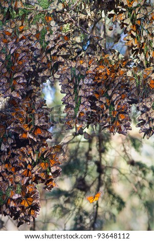 Monarchs butterflies during their migration