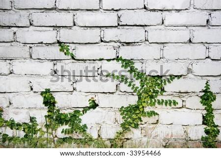 Images Of Money Plant. stock photo : Money plant