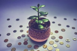 money tree in a pot on a blue background (Crassula ovata) Feng Shui