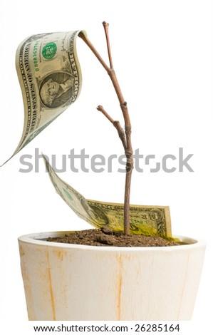 Money tree, isolated on white