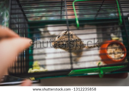 Mongolian gerbil in a cage