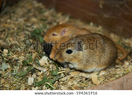 Mongolian gerbil (meriones unguiculatus). The problem of rodents in agriculture.