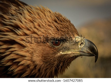 Mongolian golden eagle. The golden eagle (Aquila chrysaetos) is the most widely distributed species of eagle.