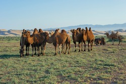 Mongolian tribe of camels in nice landscape
