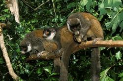 MONGOOSE LEMUR lemur mongoz, GROUP ON BRANCH AGAINST GREEN FOLIAGE