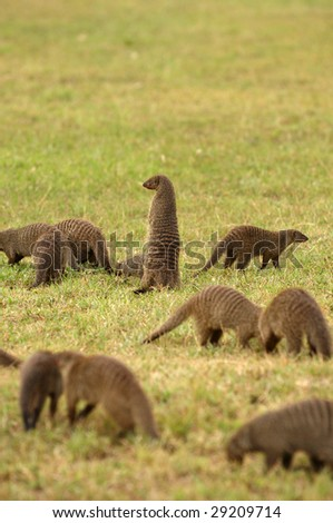 Mongoose - small, cat-like carnivores, snake`s hunter.