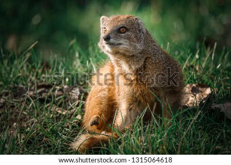 Mongoose, South Africa. Close up portrait of a yellow mongoose (Cynictis penicillata) or red meerkat.