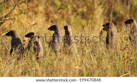 Mongoose - Wildlife Background from Africa - Band of Brothers and the Curious Bunch