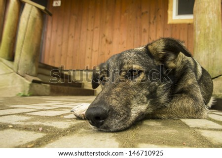 mongrel dog guarding wooden house near stairway
