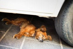 mongrel dog with cools down in the shade of a car on a hot day
