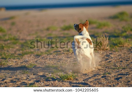 Mongrell dog, Podenco, Jack Russel terrier running on a beach. #1042205605