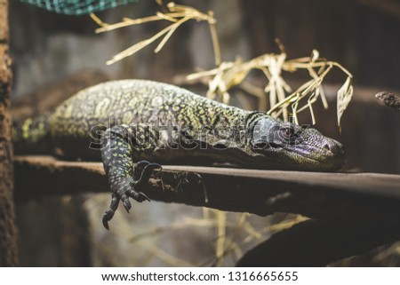 Monitor lizard chilling #1316665655