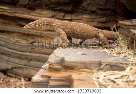 Monitor lizard, perenty in Dales Gorge, Karijini National Park, Hamersley Range, Pilbara Zdjęcia stock ©