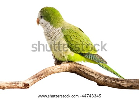 monk parrot profiles its green feathers in the sunlight; white background