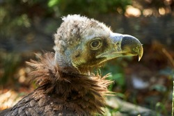 Monk Vulture Close-up in the morning light. Bird with special hemoglobine for higher flying (Aegypius monachus, Cinereous Vulture).