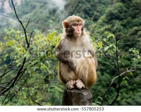Monkey   #557805253