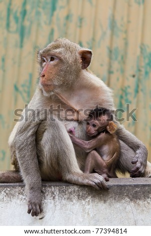 monkey and its baby sitting on the wall in Lopburi of Thailand