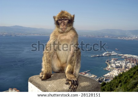 Monkey at the Gibraltar Rock. At background the harbor