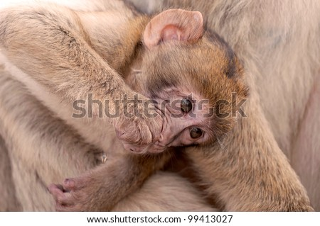 monkey at the rock of gibraltar - stock photo