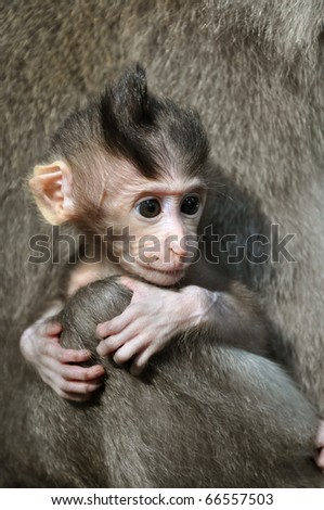 Monkey baby. Pura Dalem Agung Padangtegal temple in Sacred Monkey Forest in Ubud. Bali, Indonesia.