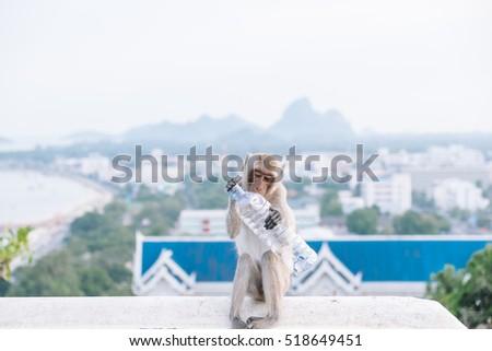 Monkey bites a plastic cooldrink bottle, thailand