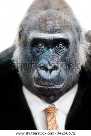 Monkey business with Silverback Gorilla wearing a shrewd expression and a Stockmarket Tie