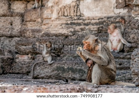 Monkey carries a baby and eat corn on the top of Phra Prang Sam Yod, Lopburi, Thailand. #749908177