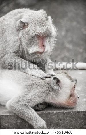 Monkey catching fleas