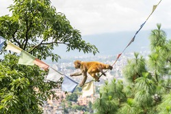 Monkey climbing a rope with flags with trees and Kathmandu city on background. Stock photo.