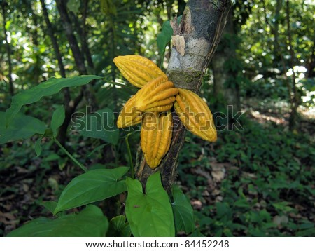 Monkey cocoa fruits, Herrania purpurea, on tree in the jungle, Bocas del Toro, Central America, Panama