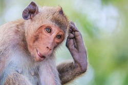 Monkey (crab-eating macaque) Asia Thailand