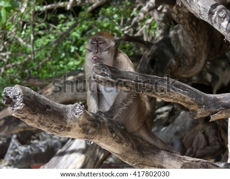 Monkey (Crab-eating macaque) sitting on a dry branch and showing tongue. Shot made at monkey bay, Phi Phi Island #417802030