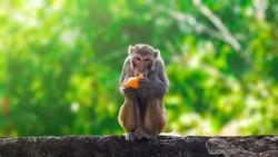 Monkey eating orange fruit and sitting.