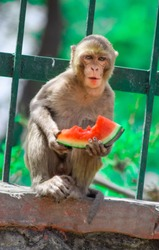 Monkey enjoying the delicious watermelon.