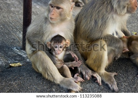 Monkey family with the little baby on the rock