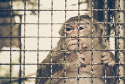 Monkey feeling sad in the cage / Animal rights concept