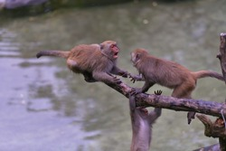 Monkey fighting on the branch, There is a water pool underneath