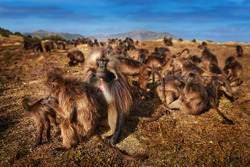 Monkey group feeding behaviour detail. Gelada Baboon with open mouth with teeth. Close-up wide portrait Simien mountains NP, gelada monkey, detail portrait, from Ethiopia. Cute animal from Africa.